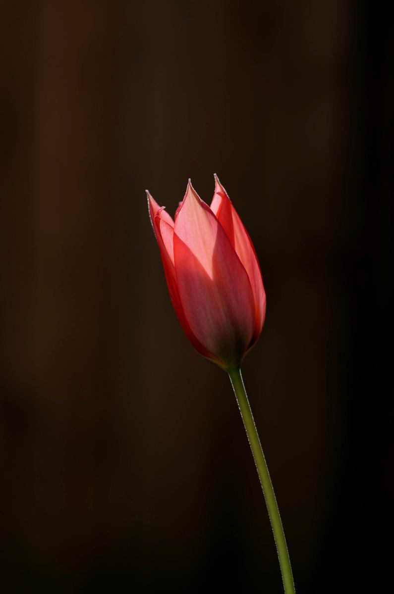 tulipe, tulipe rose, tulipe fermée, fleur, contre jour