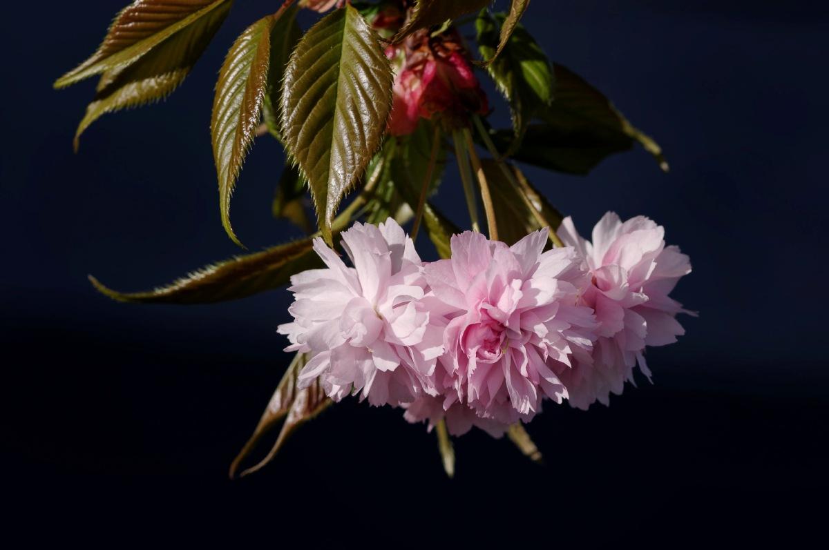 fleur, cerisier du japon, prunus serrulata