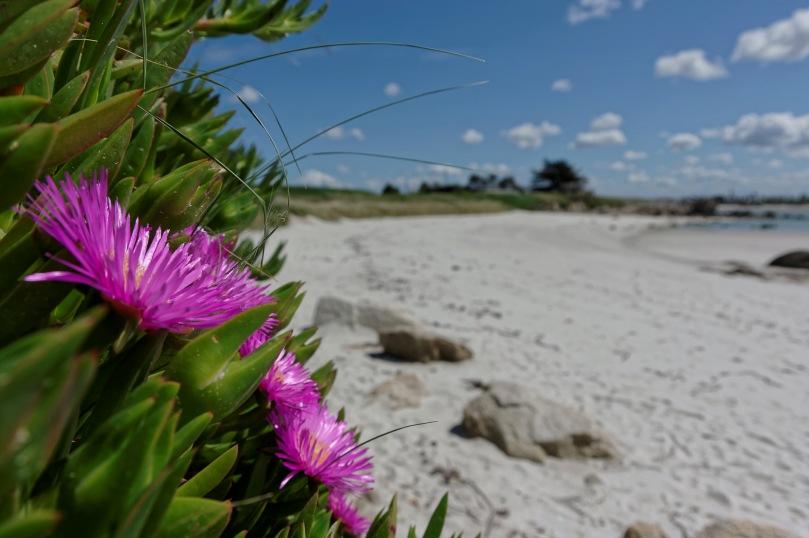 plage de Poulfeunteun, focus stacking fleur griffe de sorcière, Carpobrotus edulis,  griffe de sorcières, figues marines