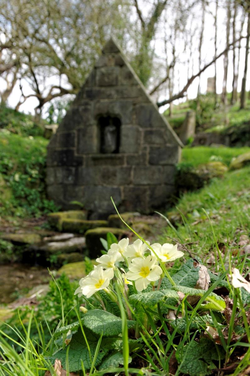 primevères sauvages à la fontaine St-GildasDxO-blog, primevères sauvages primula vulgaris, finistère, bretagne