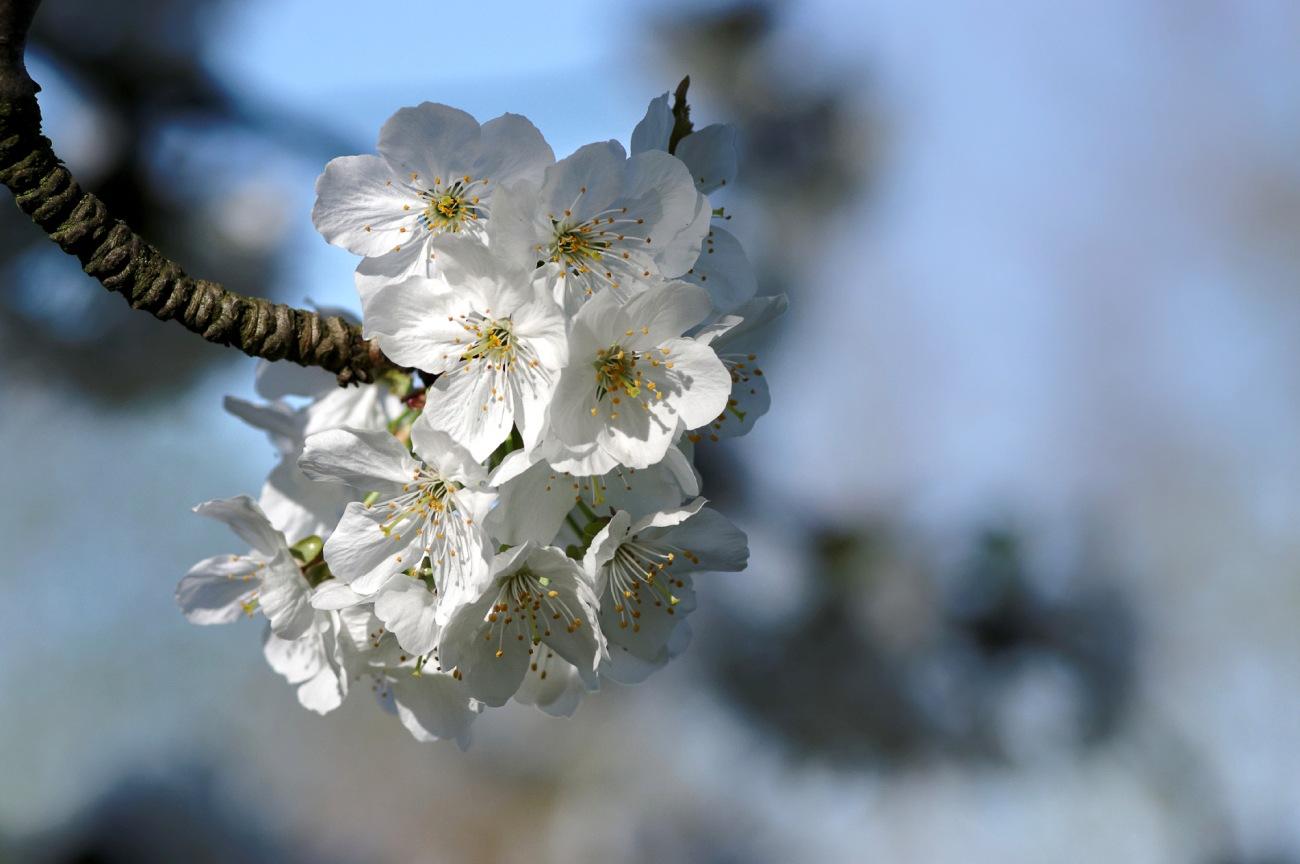 fleurs cerisiers, fleurs, faune et flore