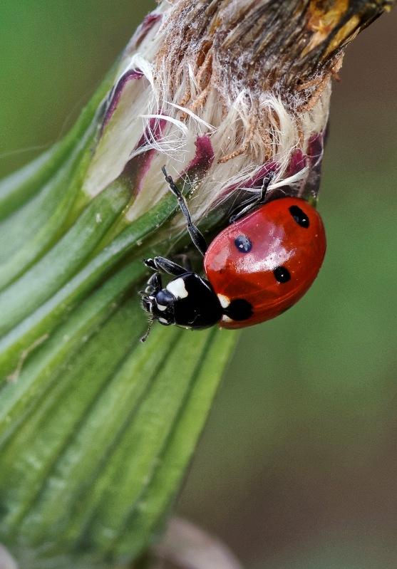 coccinelle, coccinellidés, coléoptères, bête à bond Dieu,  faune et flore, insecte, macro,  smc PENTAX D-FA MACRO 100mm f/2.8 WR