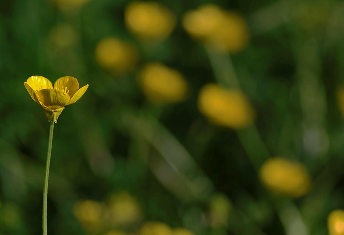 renoncule, bouton d'or, fleur, macro,  smc PENTAX D-FA MACRO 100mm f/2.8 WR