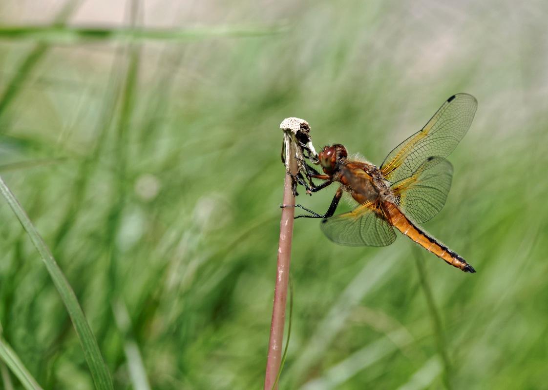 libellulla depressa femelle, libellulle depressive femelle, au bord de l'étang, insecte, macro