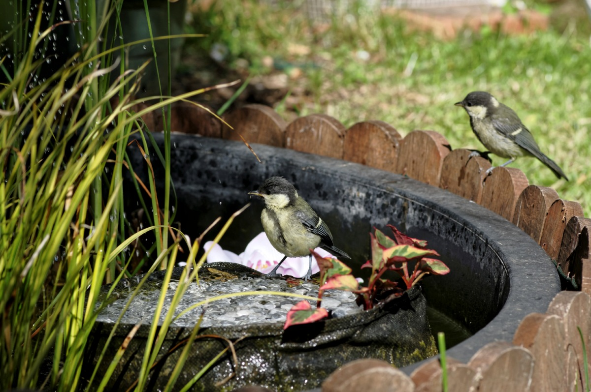 mésanges charbonnières, bain des mésanges, oiseaux du jardin,