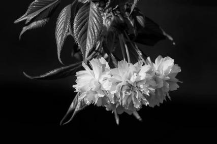 fleurs cerisier N&B pour Sandrine