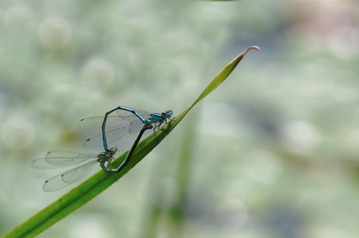 libellules, accouplement de libellules, faune et flore