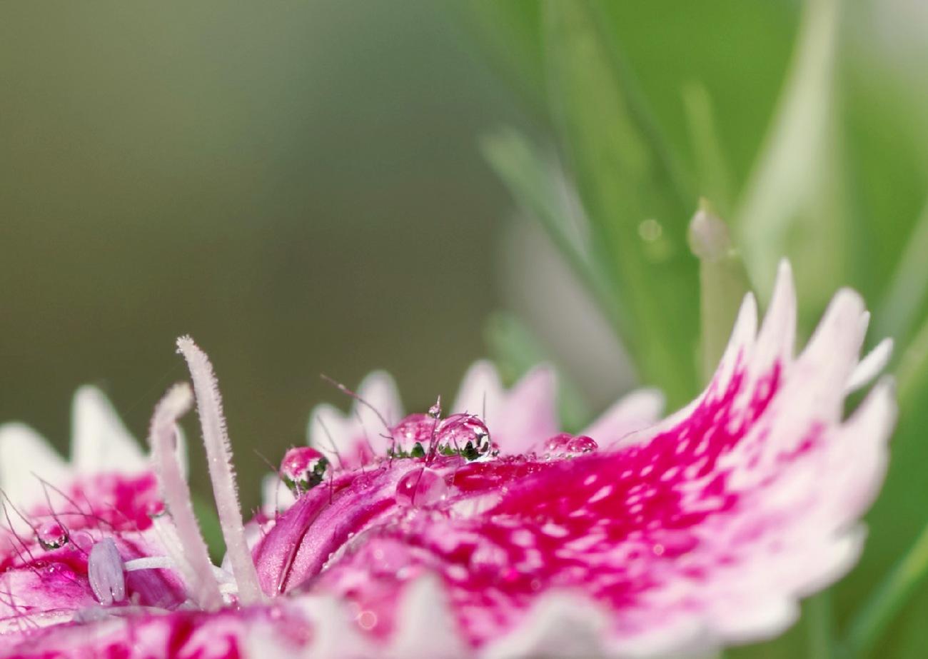 oeillet, goutte de pluie, macro, gouttes, fleur