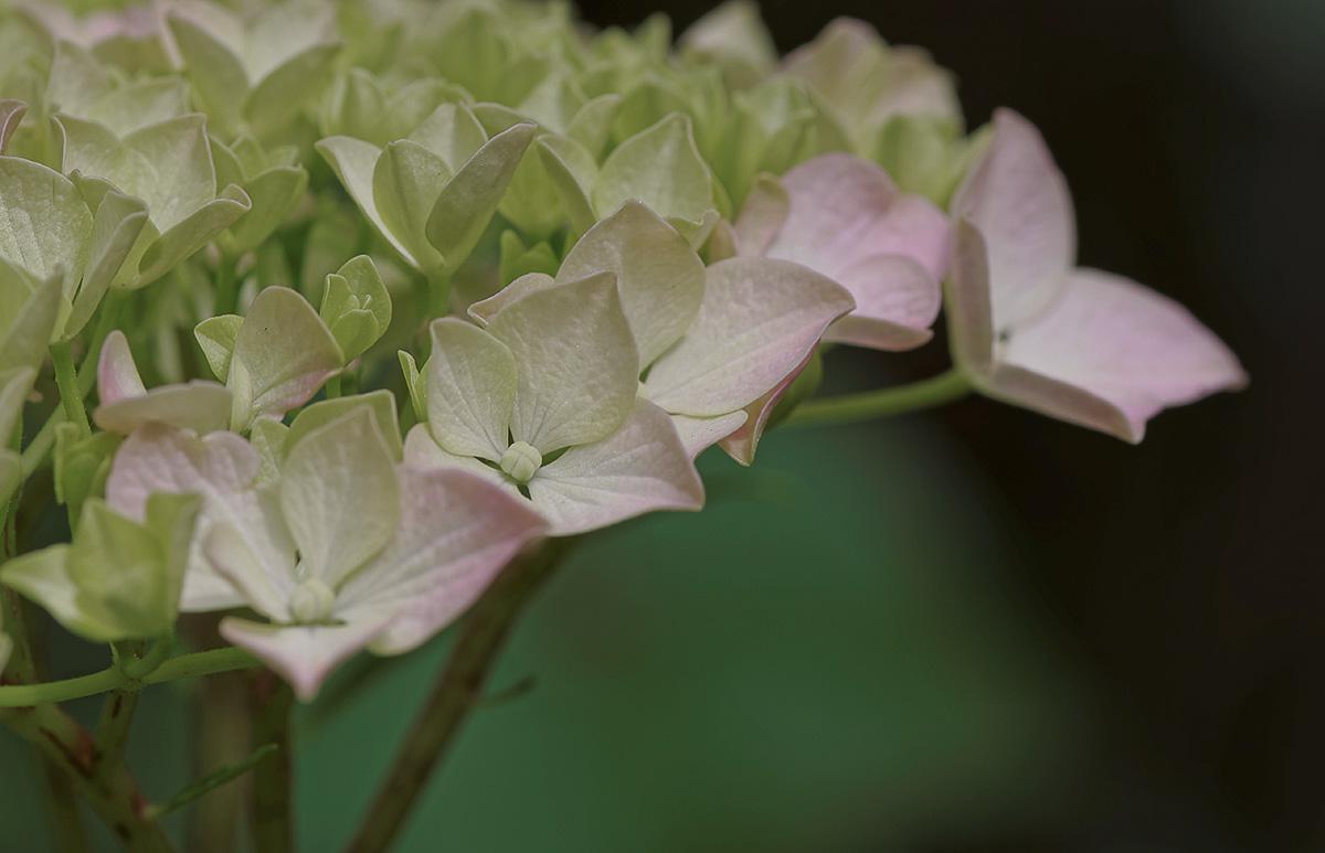 hortensia, hortensia rose, Hydrangea macrophylla, fleur, faune et flore