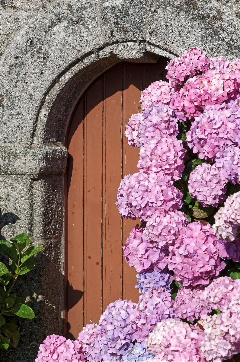 hortensias, chapelle Saint-Egarec, Kerlouan, finistère, bretagne