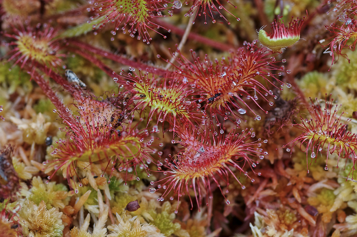 Plantes carnivores au Curnic - Drosera rotundifolia, drosera à feuilles rondes, macro, Guissény, Curnic, finistère, Bretagne