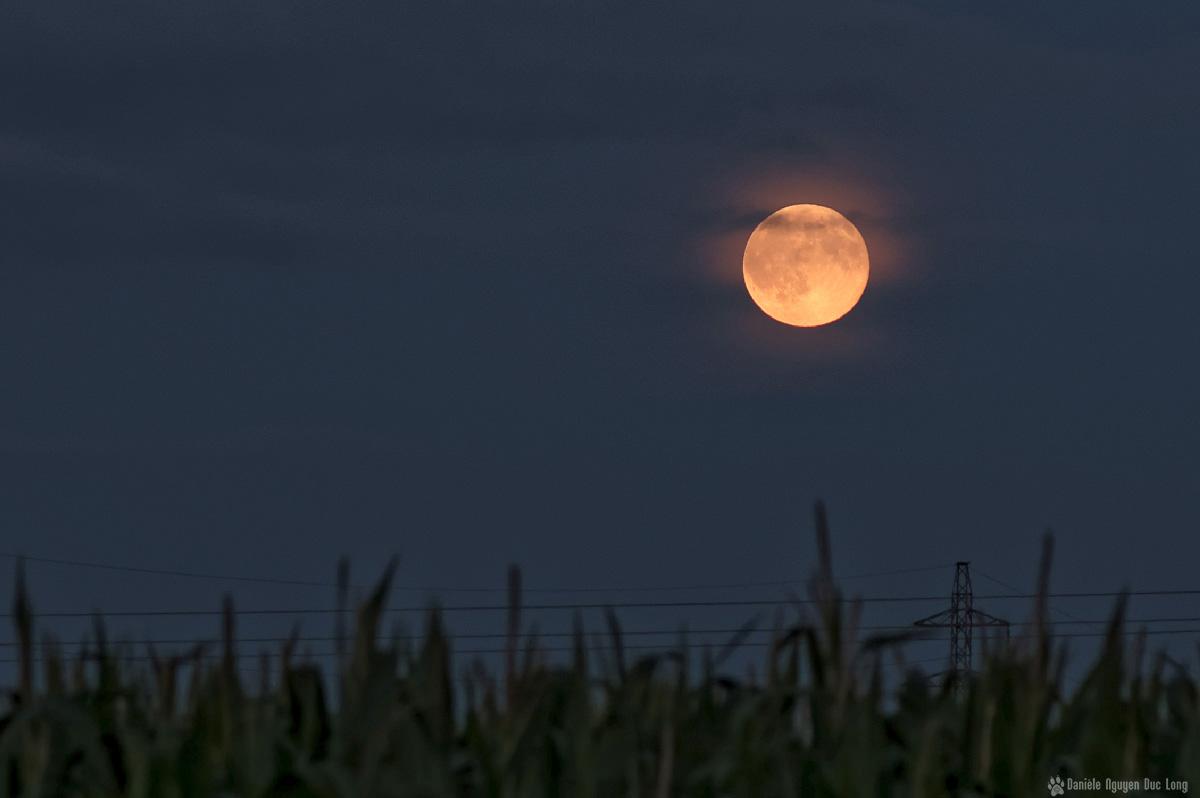 lune rousse Guissény champs de maïs 1