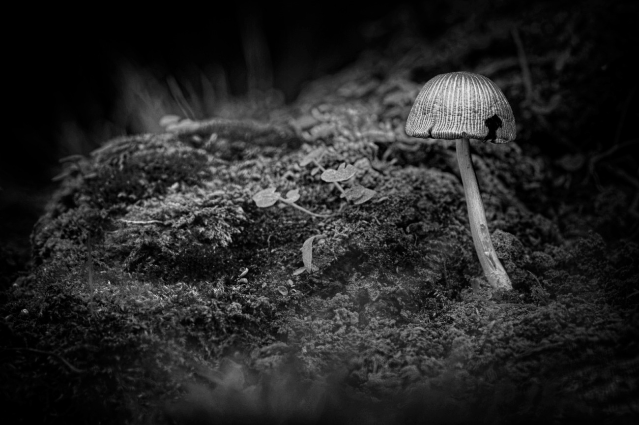 mini chamignon N&B, champignons, noir et blanc