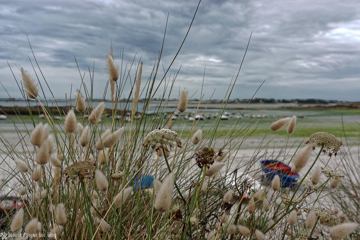 ciel plombé et queues de lapin au Curnic, lagurus ovatus, Curnic, Bretagne, Finistère