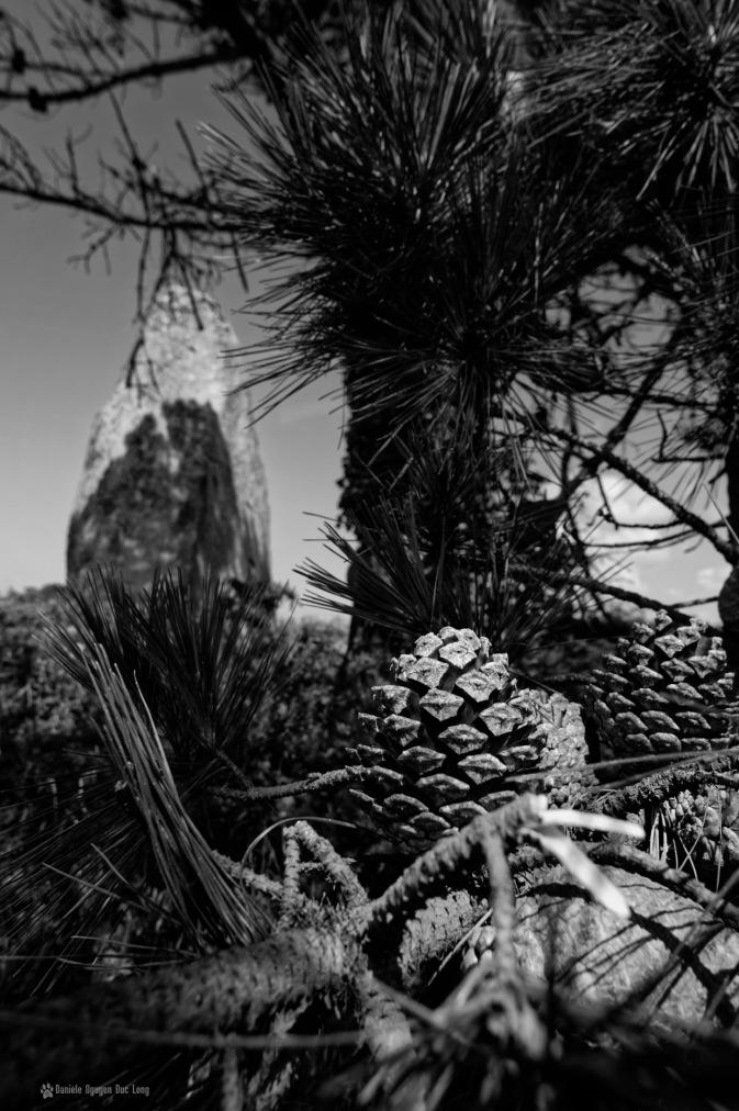 Menhir de Ménoignon 03, menhir de Ménoignon derrière les pommes de pin, Plounéour Trez, finistère, bretagne,