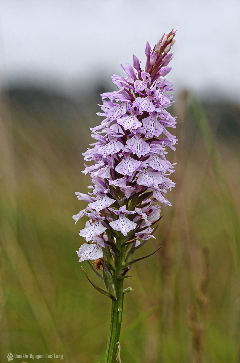 orchidée sauvage marais du Curnic, orchis tachetée, Dactylorhiza maculata, Guissény, finistère, bretagne