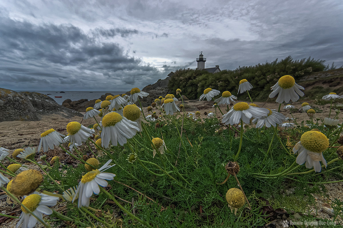 pontusval et soleils au sol 01 blog, Pontusval, Finistère, Bretagne, phare de Pontusval, matricaire maritime, fausse camomille