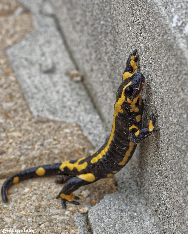 salamandre voulant monter une marche, salamandre tête, salamandre sur la terrasse, salmandra, urodèle