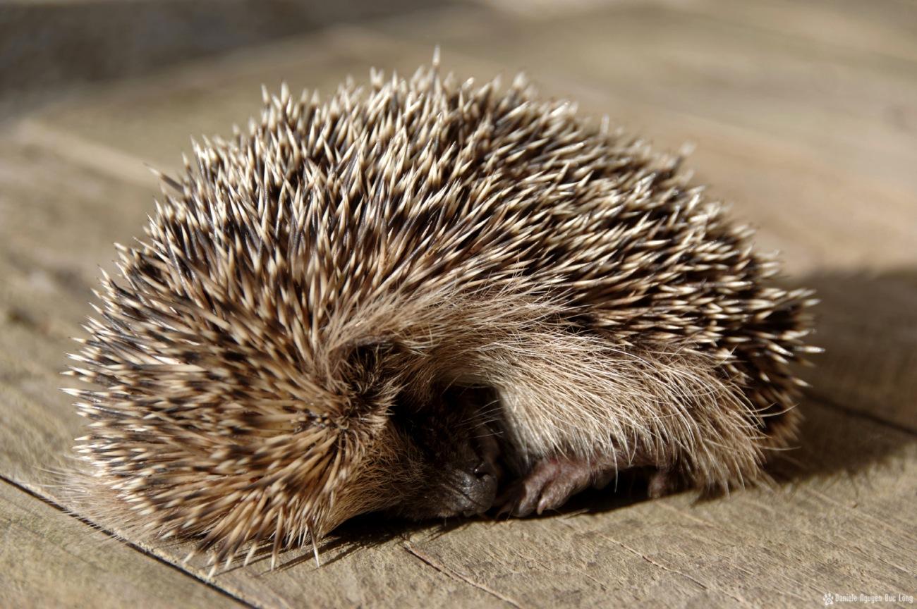 bébé hérisson endormi au soleil 01, Erinaceus europaeus,