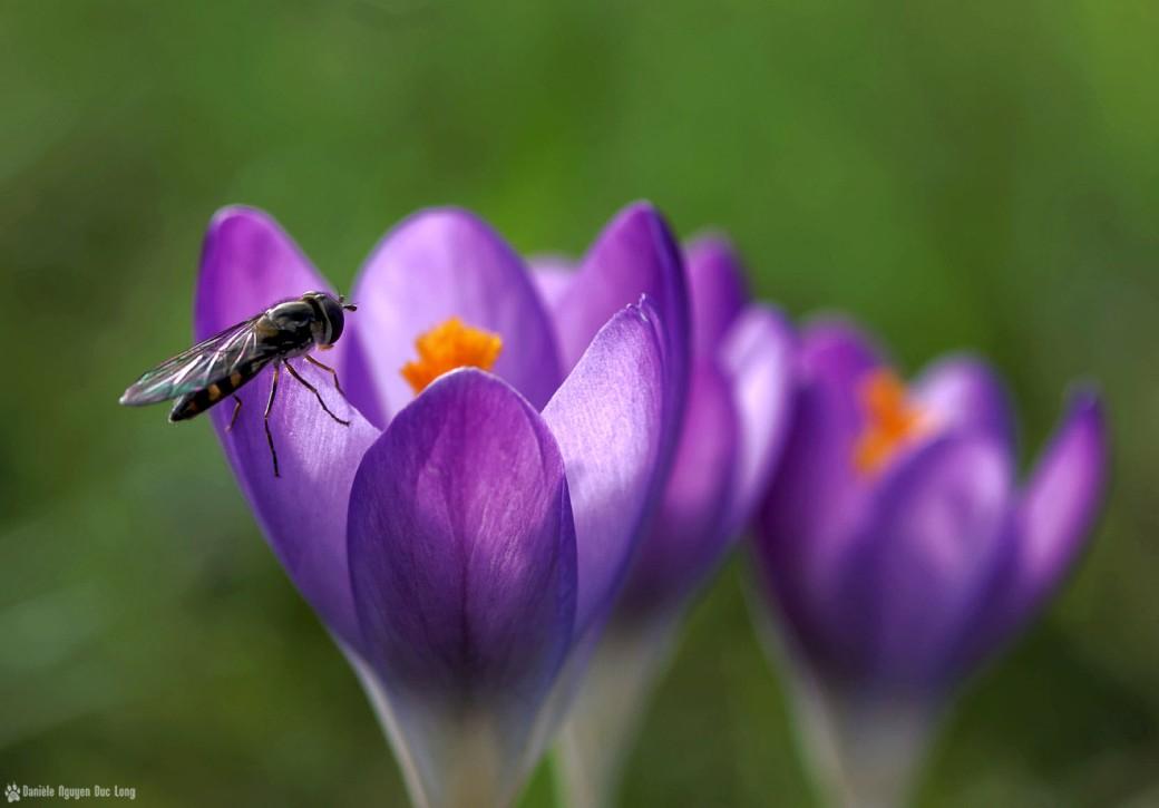 crocus mauve et insecte jardin,crocus, famille des Iridaceae, fleur,