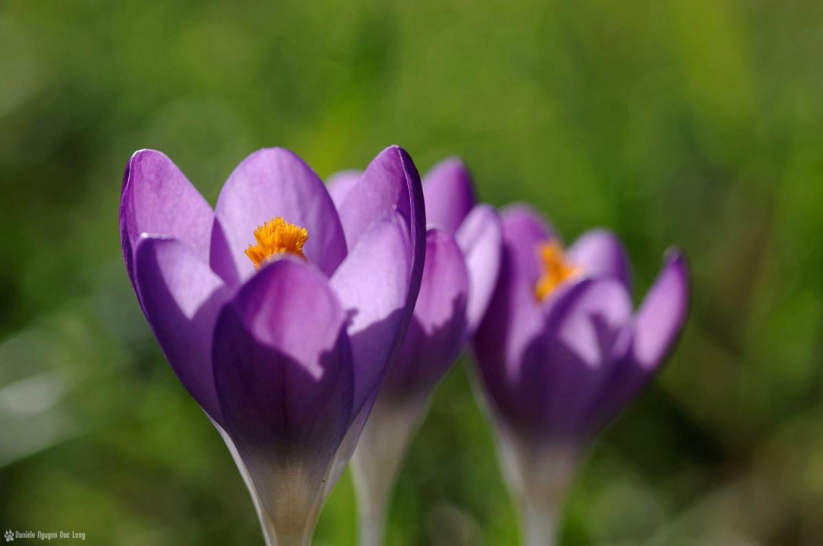 crocus mauve jardin1, crocus, famille des Iridaceae, fleur,