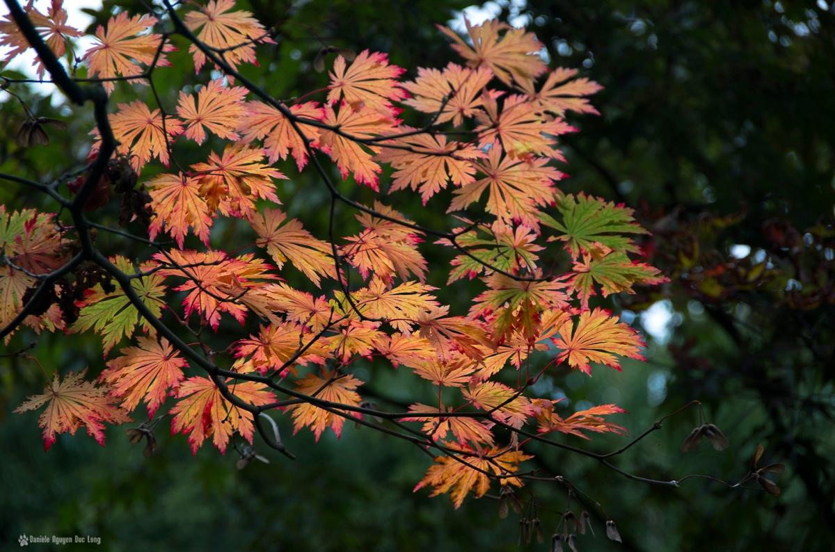acer japonicum, érable du japon hybride