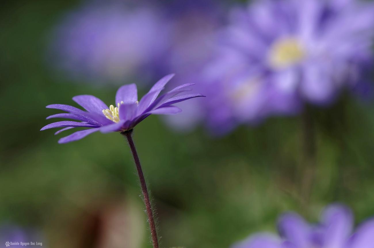 fleurs mauves au jardin 02,anémone blanda, fleur, faune et flore