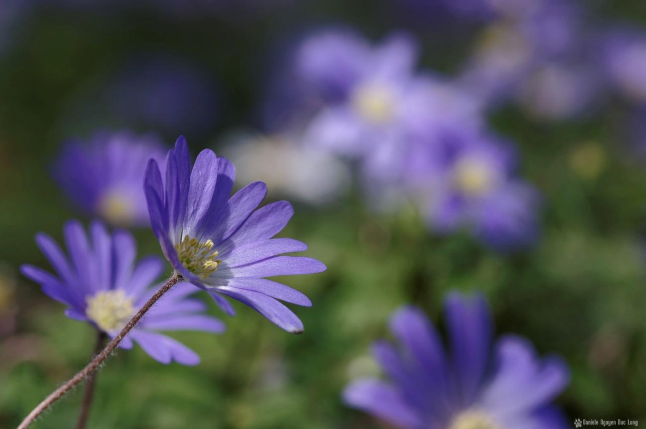 fleurs mauves au jardin01, anémone blanda, fleur, faune et flore, mauve
