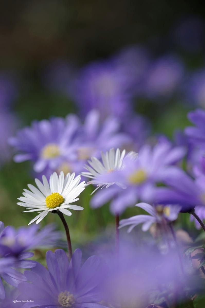 fleurs mauves et pâquerettes au jardin 01, anémone blanda, fleur, faune et flore, mauve