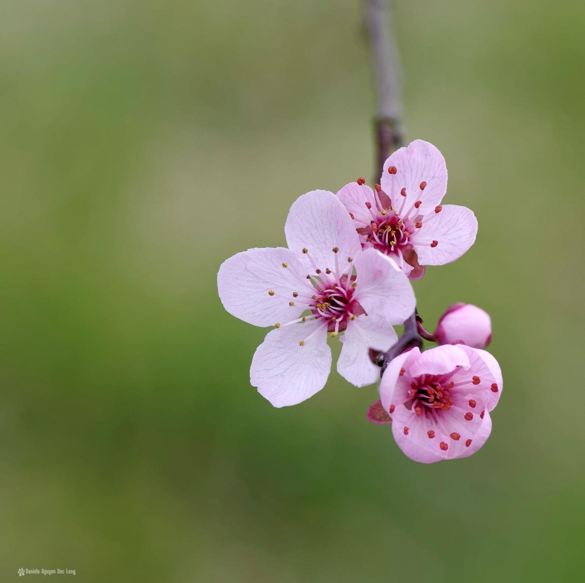fleurs roses arbre templiers copie, fleurs de pêcher, faune et flore, printemps