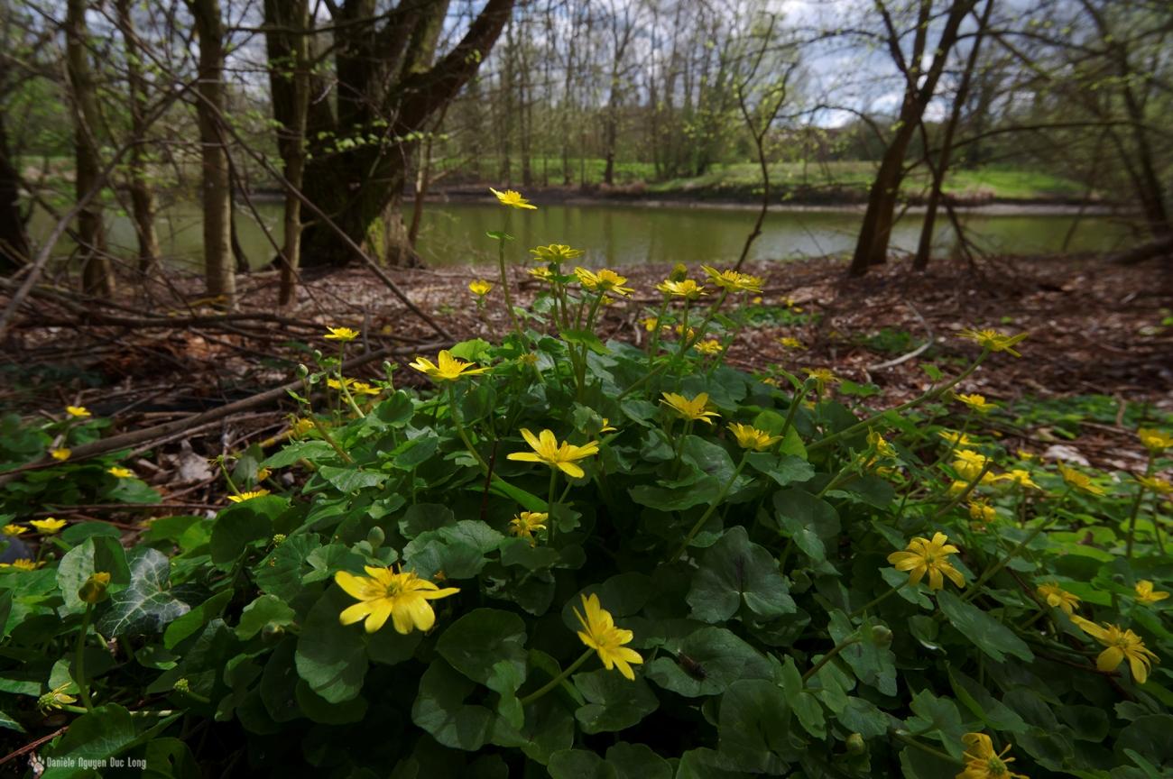fleurs jaunes au bord de l'eau