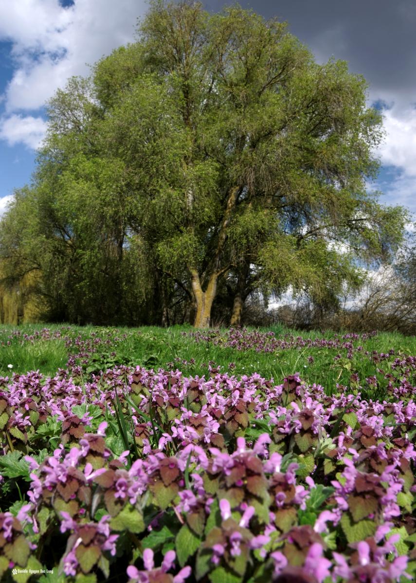 fleurs mauves et saules