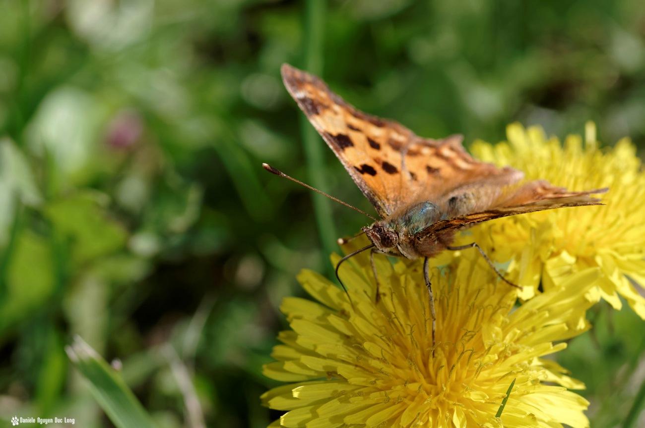 papillon chemin côtier