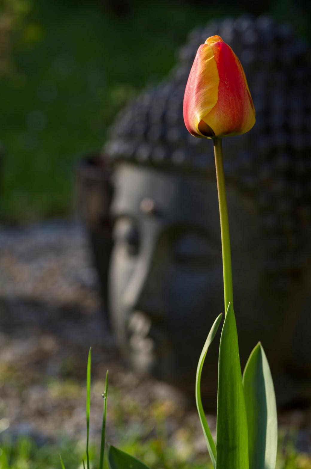 tulipe Bouddha 1 copie