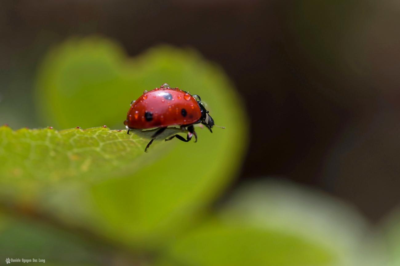 coccinelle coeur de feuille, macro, coccinelle, rosée, faune et flore, insecte, coccinellidés, bêtes à bon Dieu, coléoptères