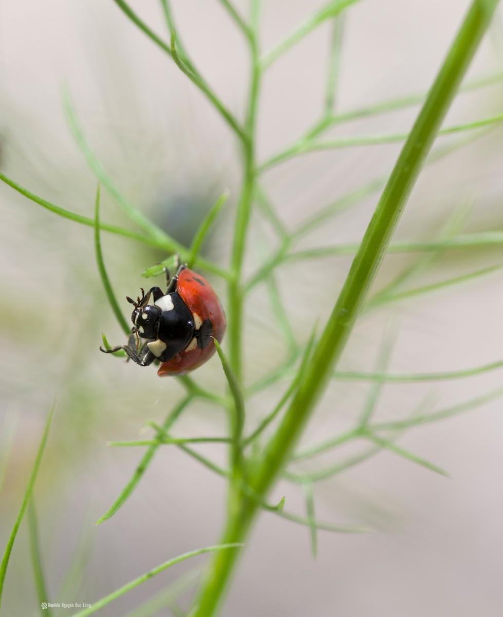coccinelle l'équilibre, macro, coccinelle, rosée, faune et flore, insecte, coccinellidés, bêtes à bon Dieu, coléoptères