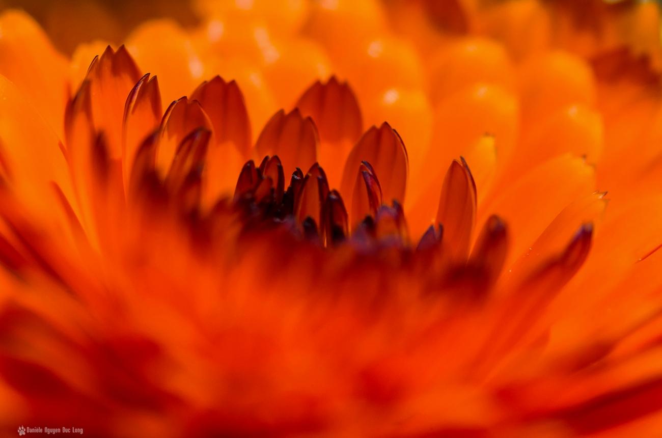coeur fleur orange, calendula, fleur,