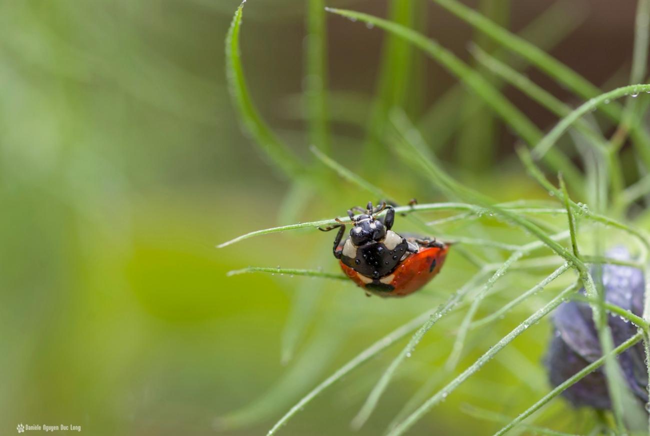 en équilibre coccinelle, macro, coccinelle, rosée, faune et flore, insecte, coccinellidés, bêtes à bon Dieu, coléoptères