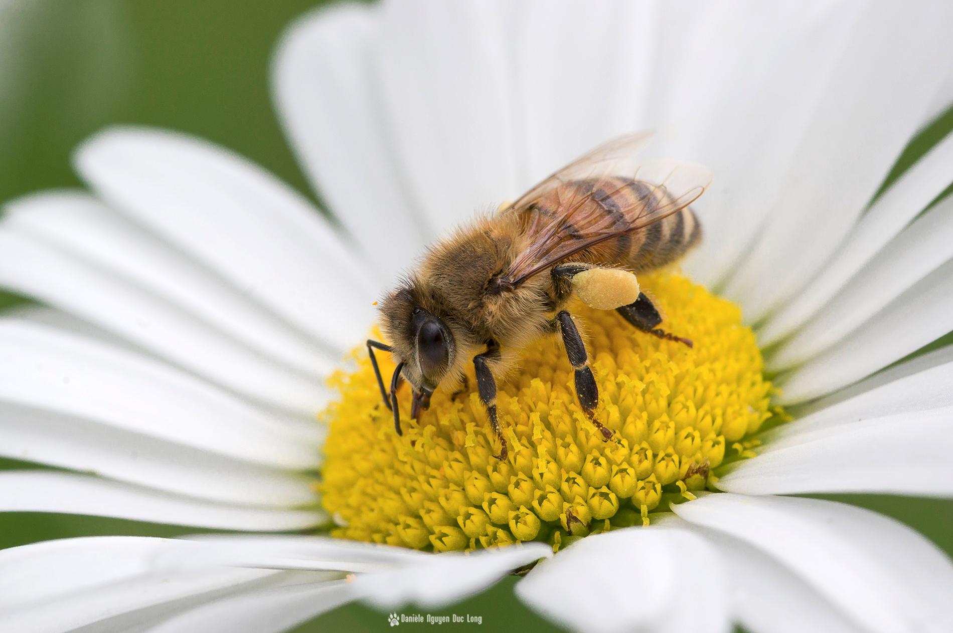 La marguerite et l abeille la tribu d 39 anaximandre des - Image fleur marguerite ...