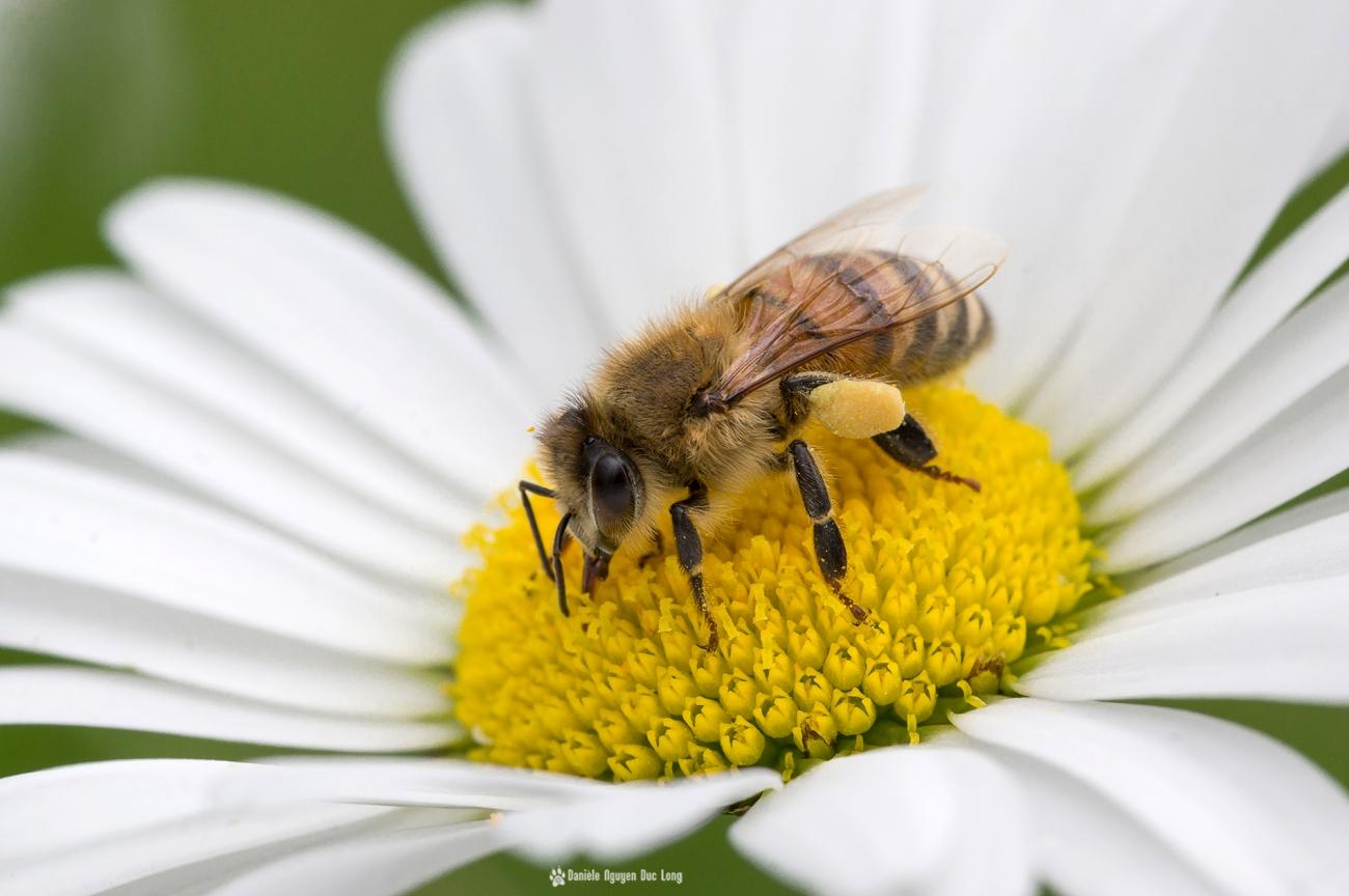 abeille sur marguerite, abeille, fleur, marguerite, faune et flore