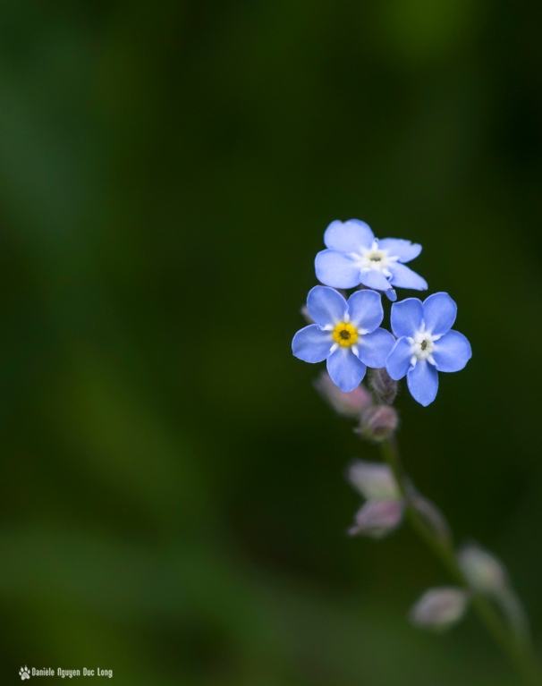 trio fleurs bleues mauves, myosotis, fleurs, macro