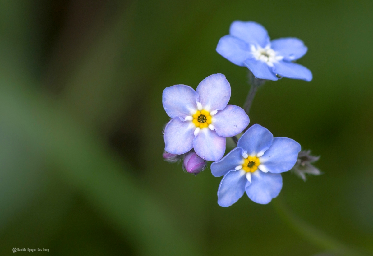 trio fleurs bleues mauves, fleurs, bleu, macro, myosotis