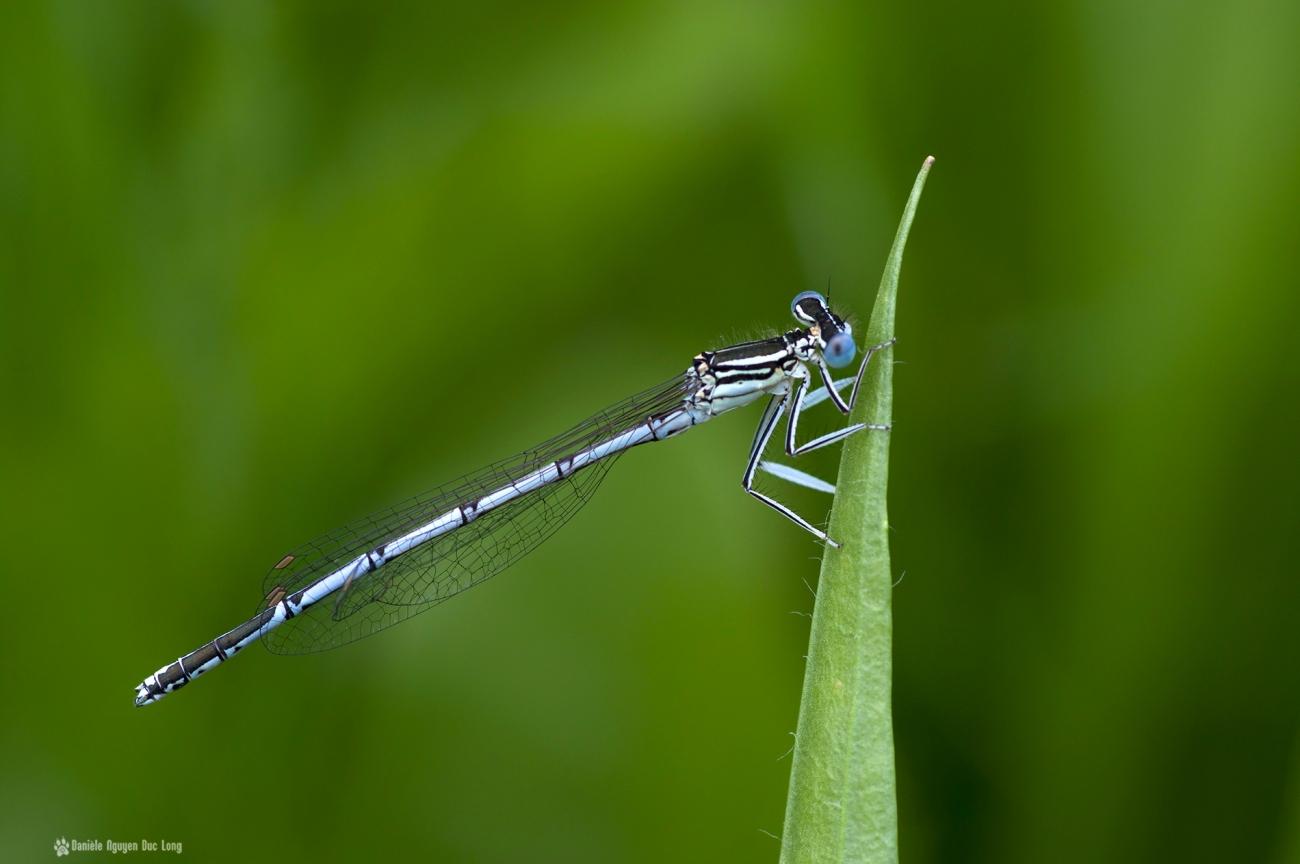 libellule bleue sur tige, libellule, pennipatte bleuâtre, macro, faune et flore
