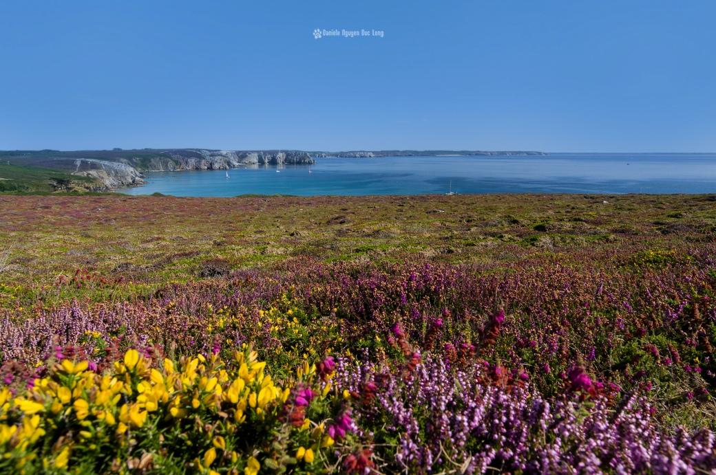 pointe de La Tavelle depuis la pointe de Pen Hir, presqu'île de Crozon, bruyère falaises bretagne, Bretagne, Finistère, Camaret-sur-mer, Crozon