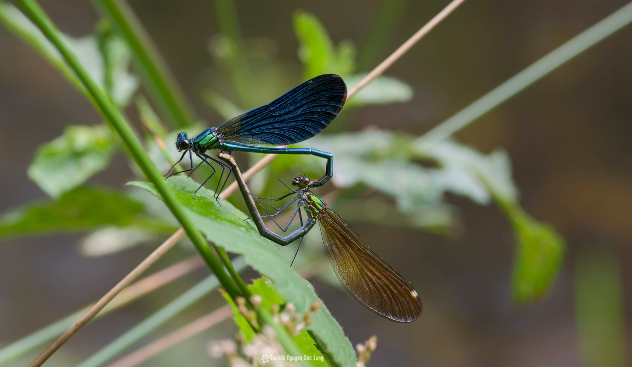 lanarvily-accouplement-libellules-103, macro, libellules