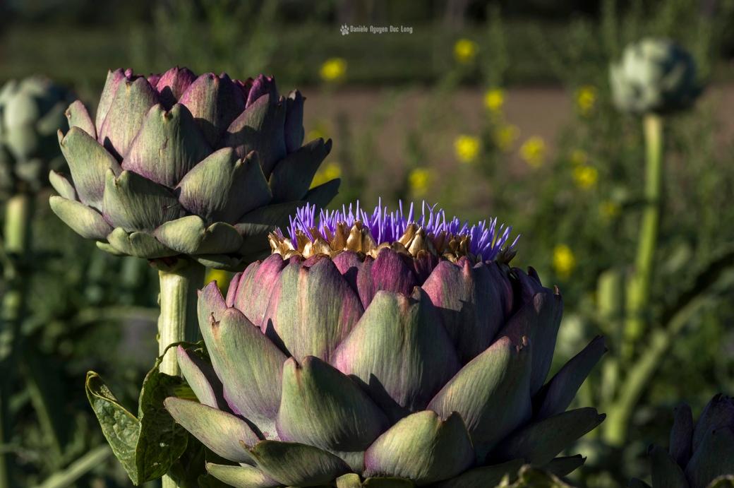 les-artichauts-, artichauts en fleur, fleur d'artichaut, bretagne, finistère
