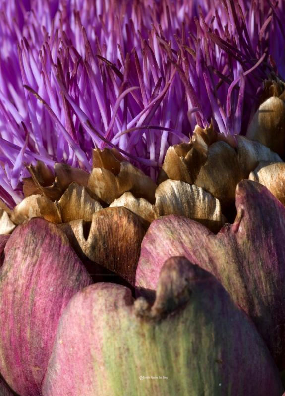 les-artichauts-06-artichauts en fleur, fleur d'artichaut, bretagne, finistère