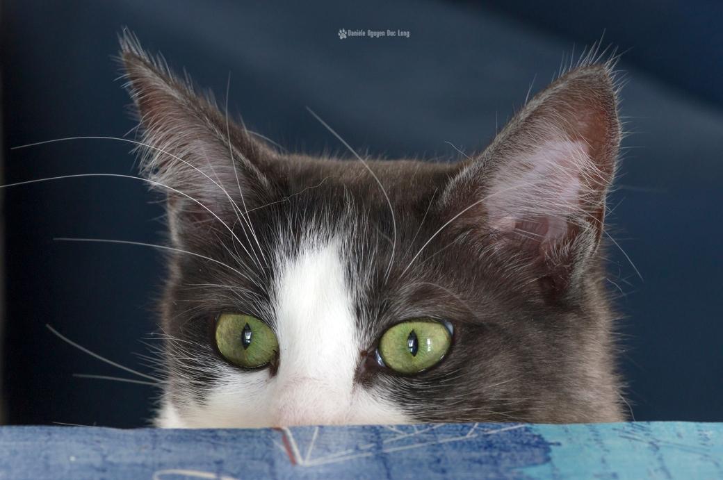 laoshe-regard-de-chat-fou-sur-la-table-,chat, angora turc, animal,