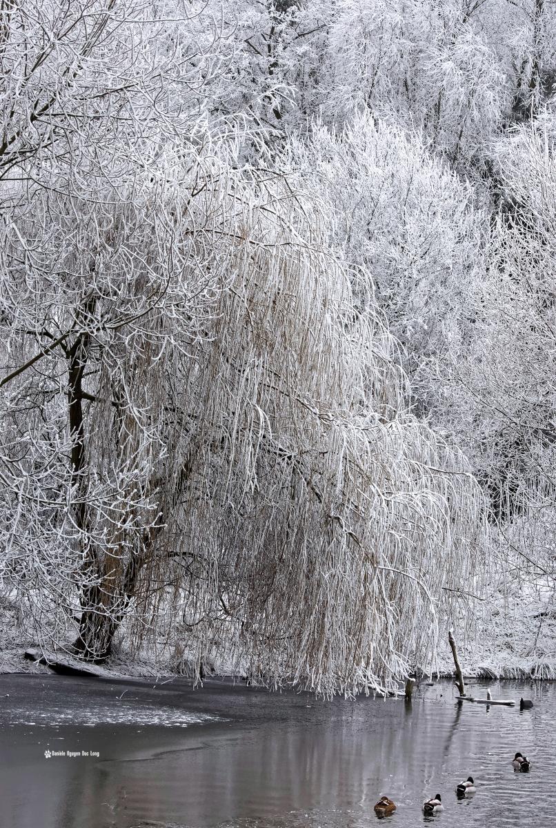 neige-du-nouvel-an-saule-et-canards-au-bord-de-leau-copie