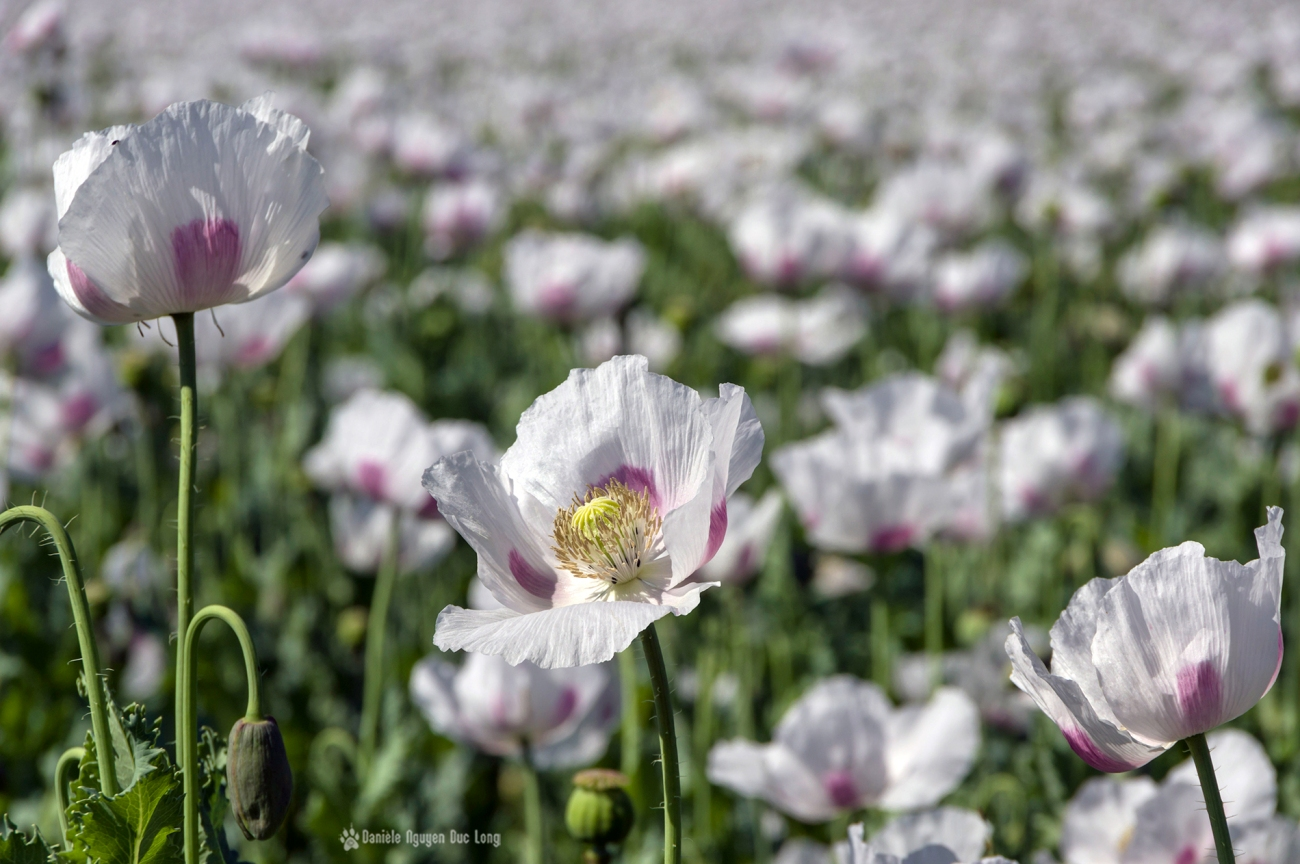 champs de pavots, Papaver somniferum, Papaveraceae, fleurs pavot,